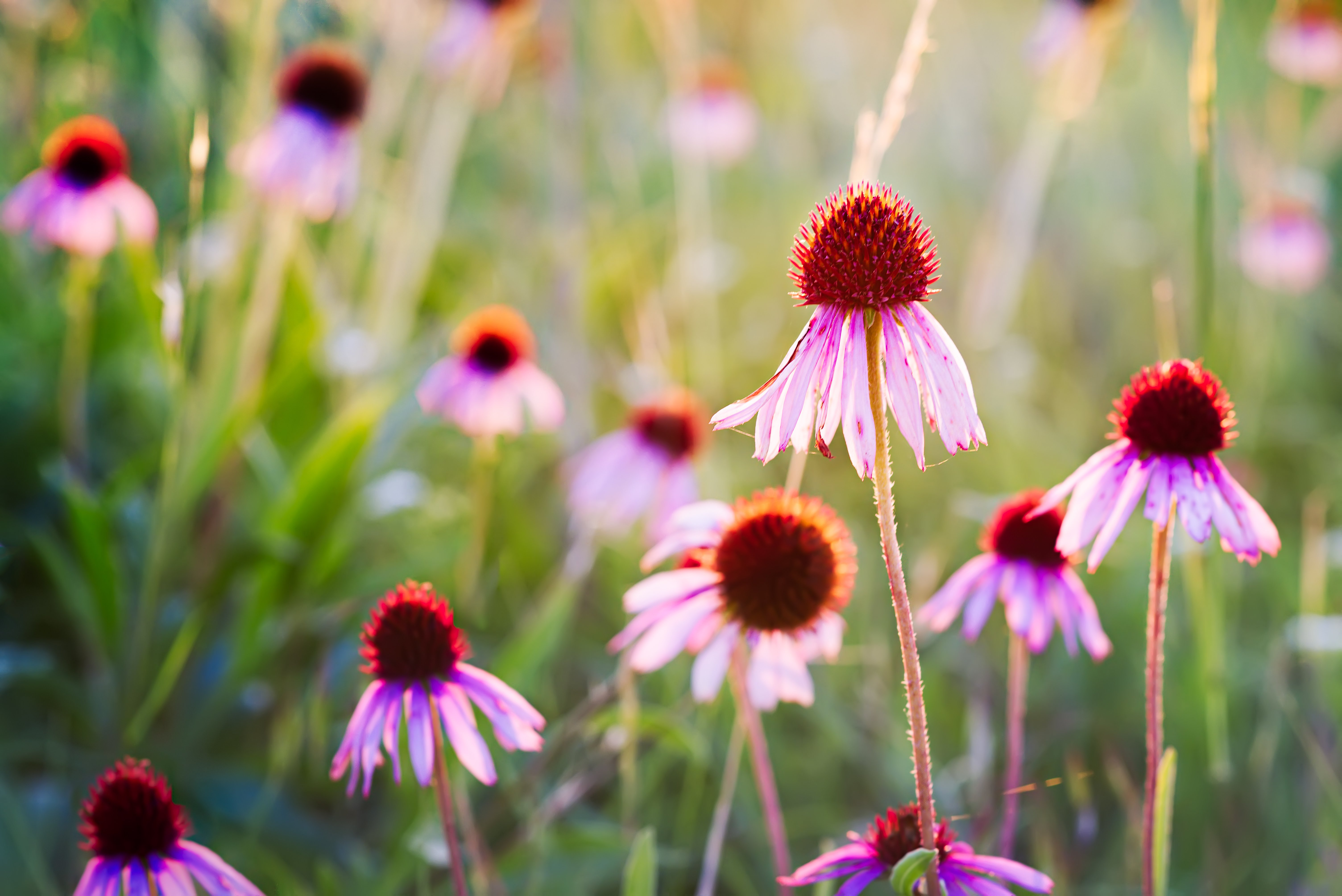 Purple coneflowers of the blackland prairie