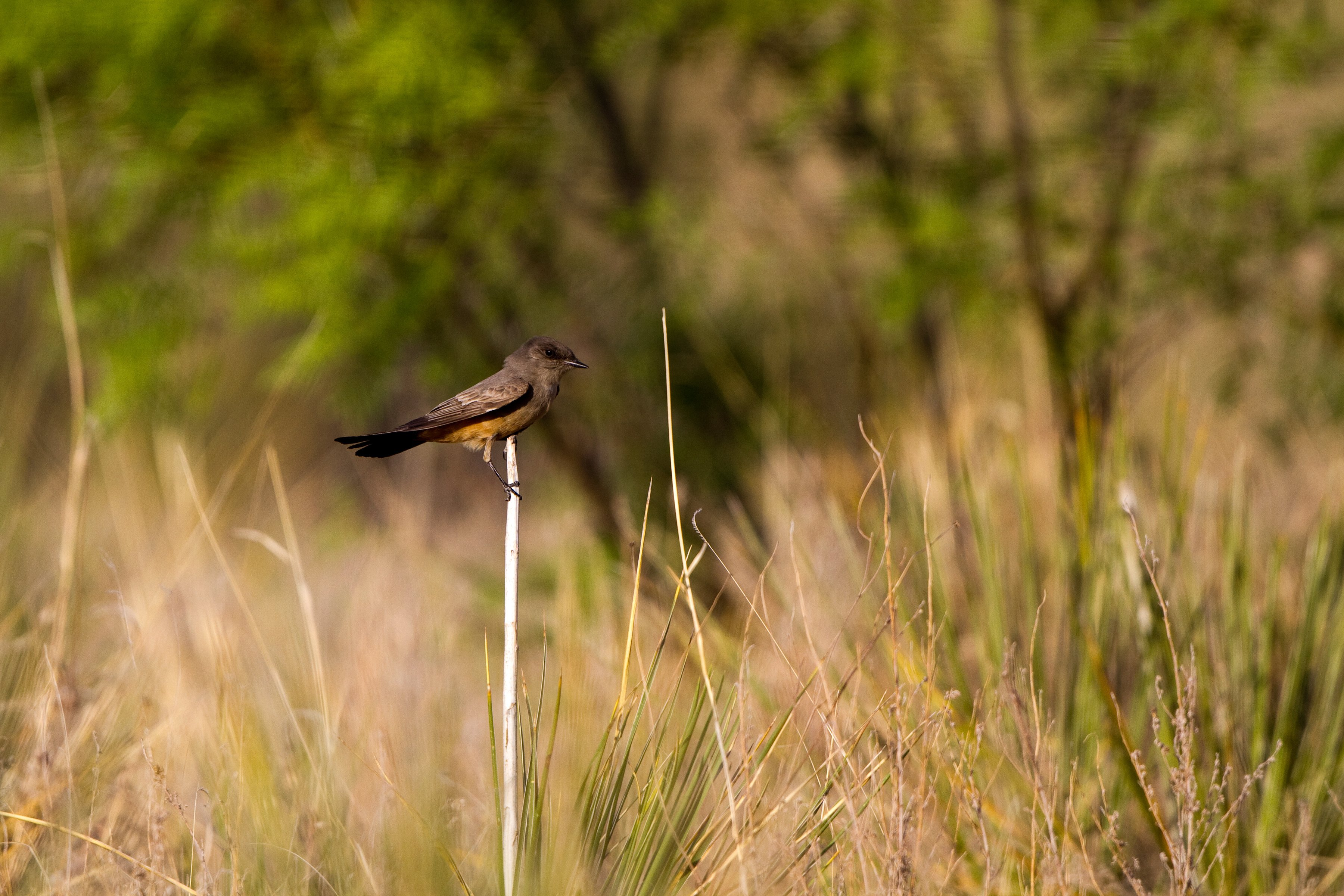 native grasses and Say's Phoebe bird in Texas Blackland Prairie